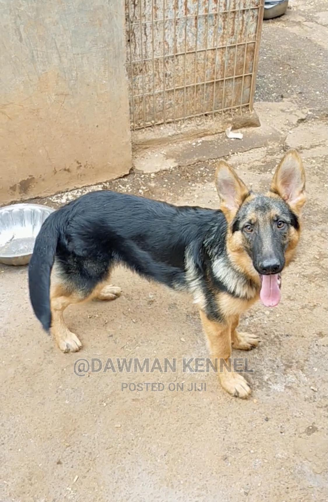 3-6 Month Male Purebred German Shepherd | Dogs & Puppies for sale in Nairobi Central, Nairobi, Kenya