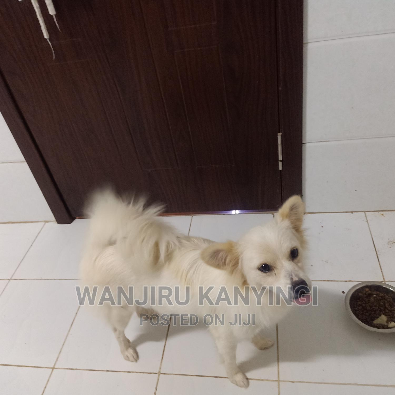 Archive: 1+ Year Female Mixed Breed Japanese Spitz