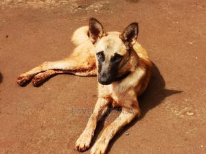 6-12 Month Male Purebred Belgian Malinois   Dogs & Puppies for sale in Nairobi, Dagoretti