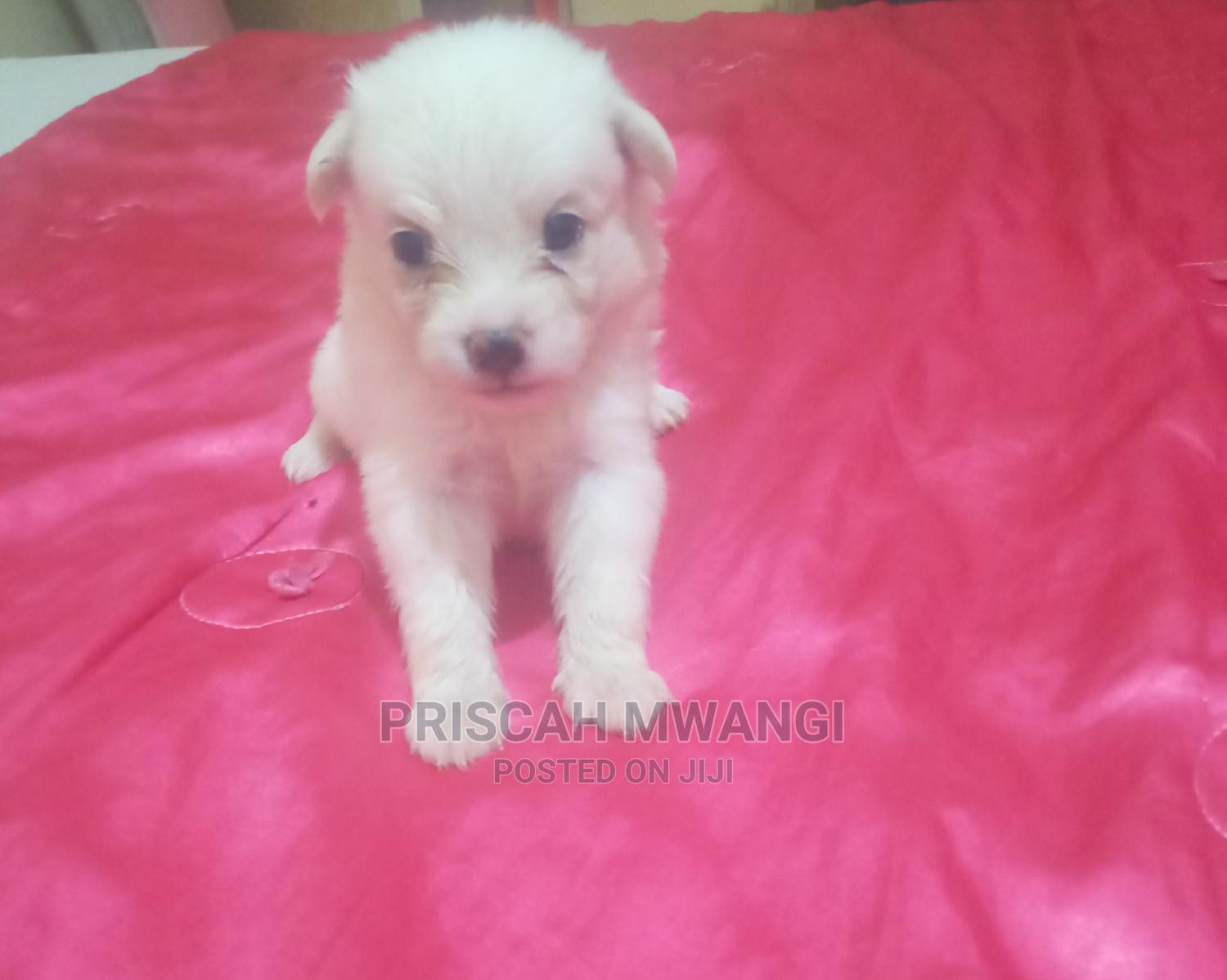Archive: 0-1 Month Male Mixed Breed Japanese Spitz