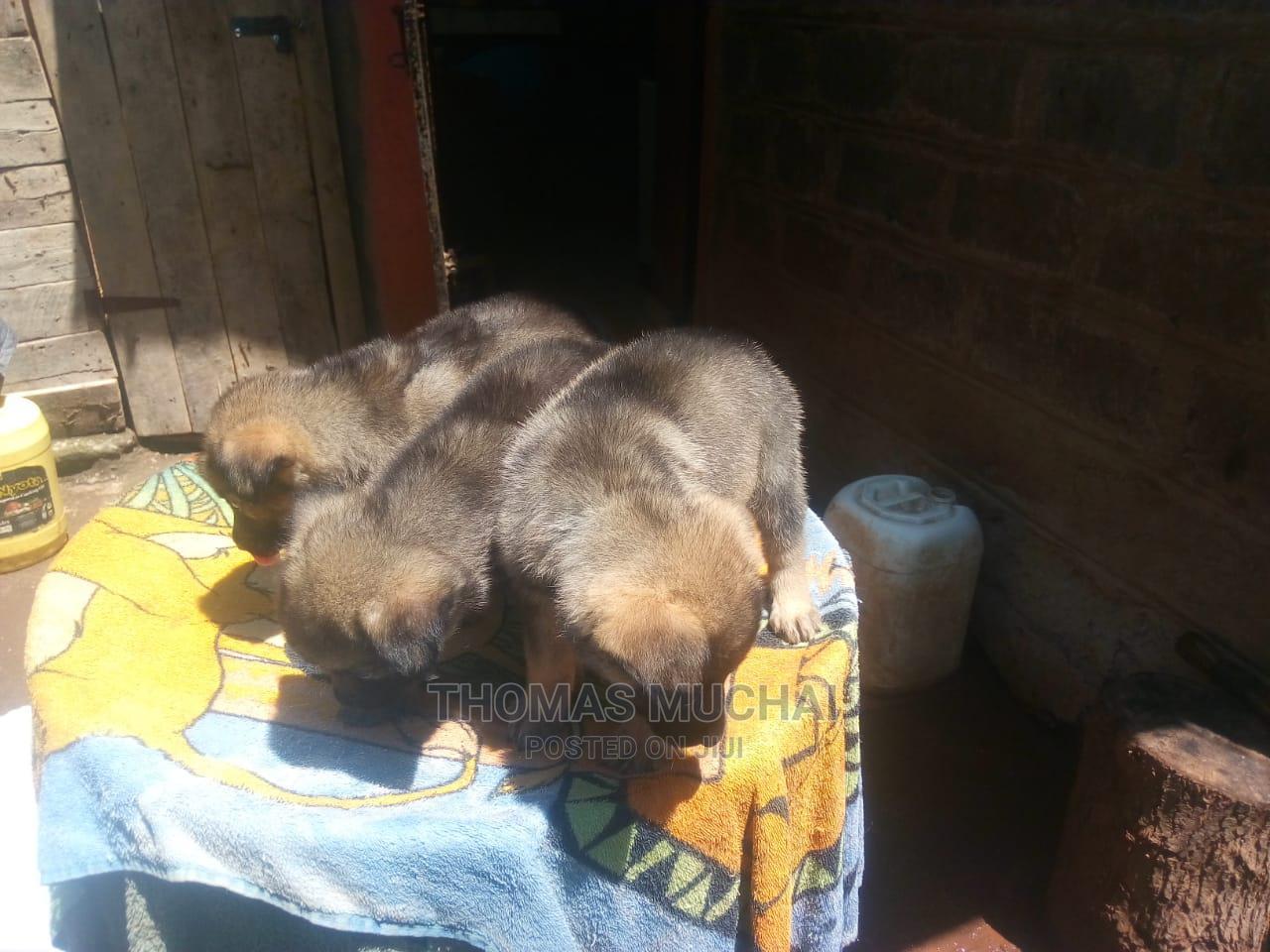 1-3 Month Female Purebred German Shepherd | Dogs & Puppies for sale in Banana, Kiambu, Kenya