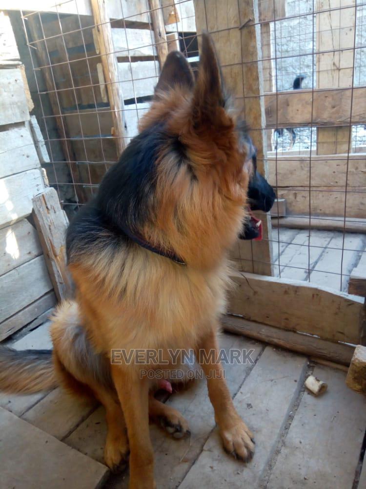 3-6 Month Female Purebred German Shepherd | Dogs & Puppies for sale in Ruiru, Kiambu, Kenya