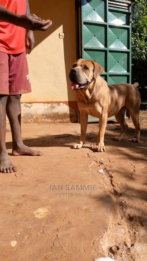 1+ Year Male Purebred Boerboel   Dogs & Puppies for sale in Kajiado, Ngong