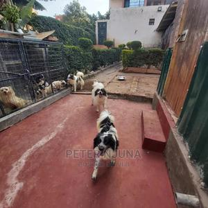 6-12 Month Male Purebred Japanese Spitz | Dogs & Puppies for sale in Nairobi, Kileleshwa