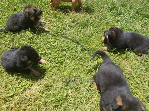 1-3 Month Female Purebred German Shepherd | Dogs & Puppies for sale in Meru, Municipality