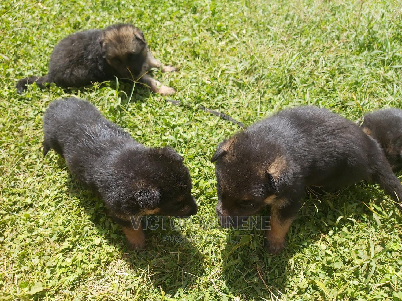 1-3 Month Female Purebred German Shepherd | Dogs & Puppies for sale in Municipality, Meru, Kenya