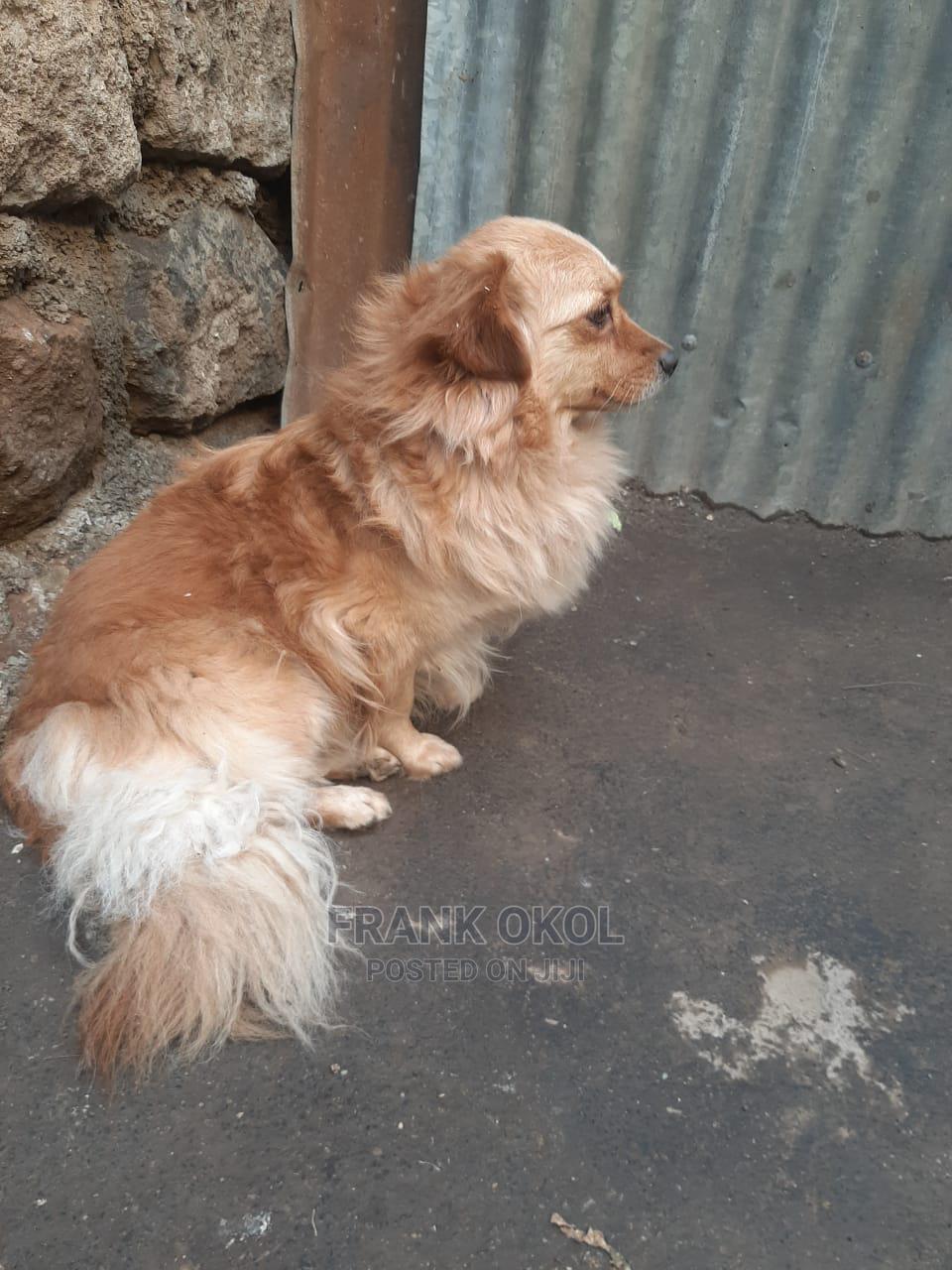 6-12 month Male Mixed Breed Japanese Spitz | Dogs & Puppies for sale in Utawala, Nairobi, Kenya