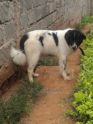 1+ Year Female Purebred Caucasian Shepherd | Dogs & Puppies for sale in Embu, Kyeni North