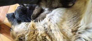 1-3 Month Female Purebred German Shepherd | Dogs & Puppies for sale in Nairobi, Embakasi