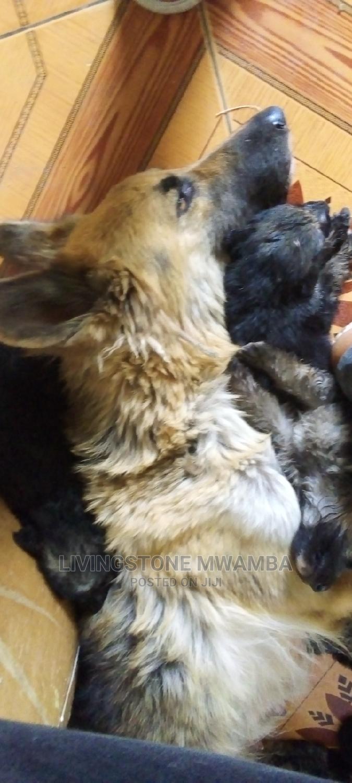 1-3 Month Female Purebred German Shepherd | Dogs & Puppies for sale in Embakasi, Nairobi, Kenya