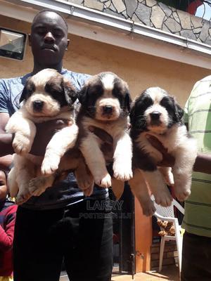 1-3 Month Male Purebred Saint Bernard   Dogs & Puppies for sale in Nairobi, Karen