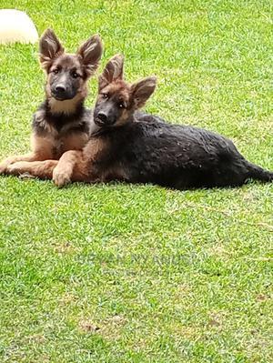 3-6 Month Female Purebred German Shepherd | Dogs & Puppies for sale in Nakuru, Nakuru Town West