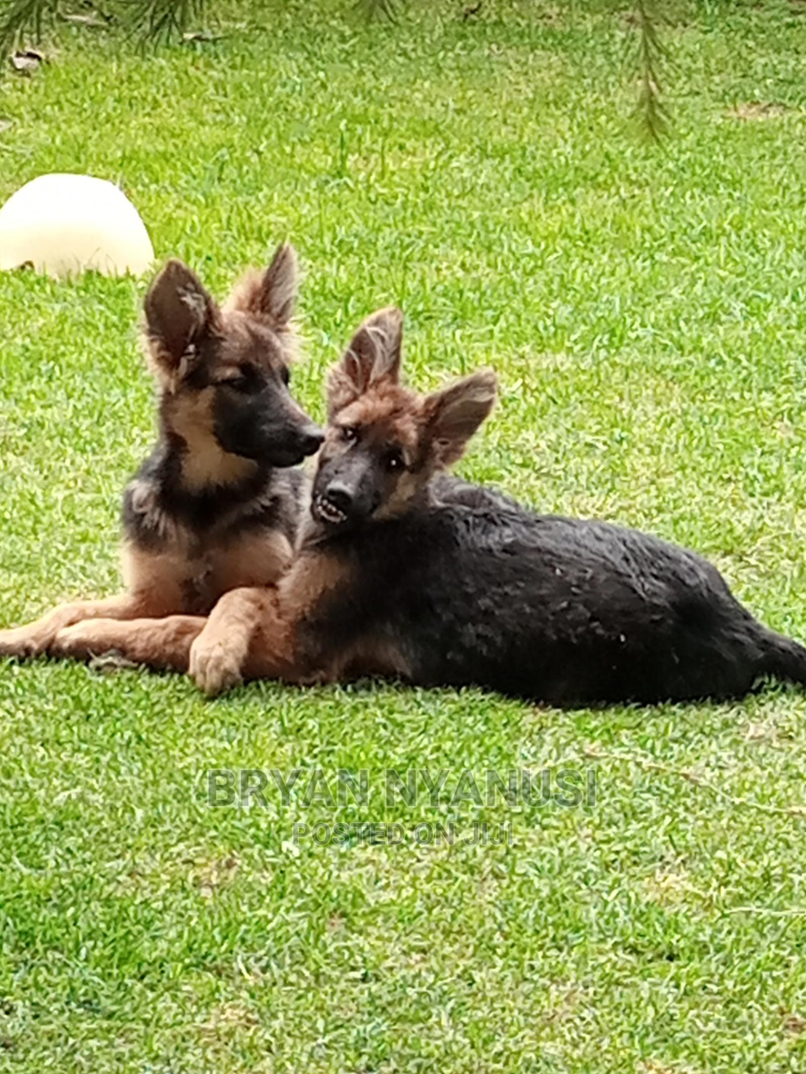 3-6 Month Female Purebred German Shepherd | Dogs & Puppies for sale in Nakuru Town West, Nakuru, Kenya