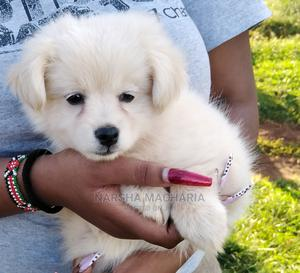 1-3 Month Male Purebred Japanese Spitz | Dogs & Puppies for sale in Nairobi, Nairobi Central