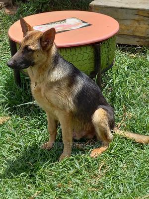 1+ Year Male Purebred German Shepherd   Dogs & Puppies for sale in Kiambu, Ruiru