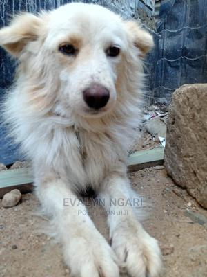 6-12 Month Male Purebred Japanese Spitz | Dogs & Puppies for sale in Nairobi, Chokaa