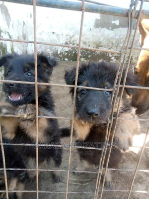 1-3 month Male Purebred German Shepherd | Dogs & Puppies for sale in Kisumu, Kisumu Central