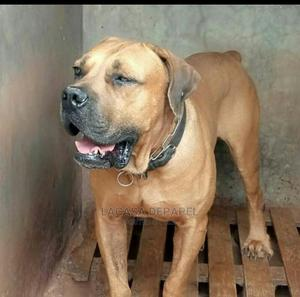3-6 Month Male Purebred Boerboel   Dogs & Puppies for sale in Nairobi, Embakasi