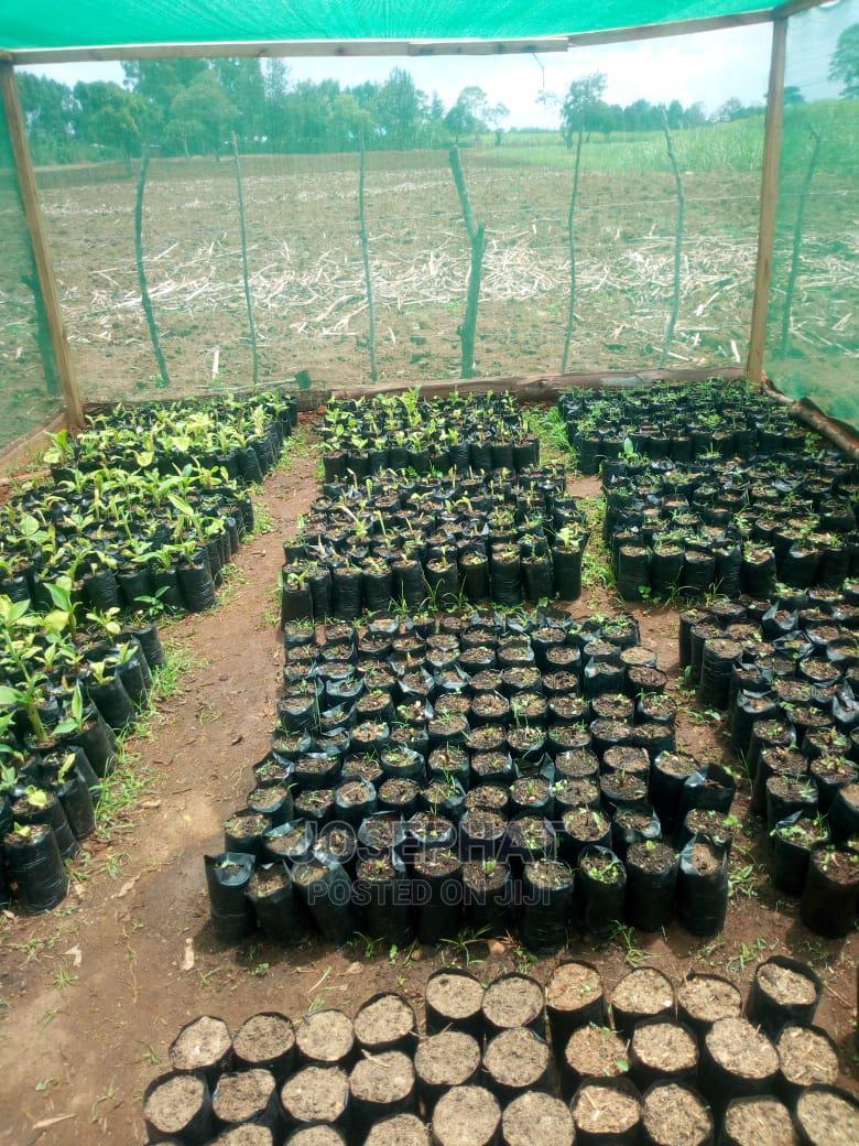 Archive: Tissue Culture Banana Seedlings