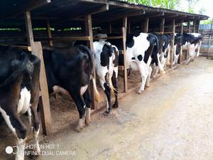 Super Milkers | Livestock & Poultry for sale in Kiambu, Githunguri
