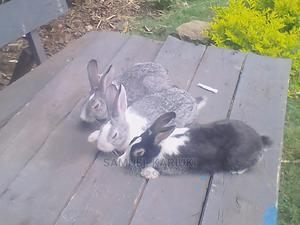 Mature Rabbits Ready for Breeding or Meat   Livestock & Poultry for sale in Kiambu, Ruiru