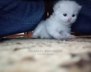0-1 month Female Purebred Persian   Cats & Kittens for sale in Mombasa, Makadara (Msa)