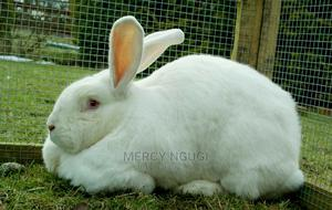 Rabbits Hybrid(Pure Breed).   Livestock & Poultry for sale in Nairobi, Ruai