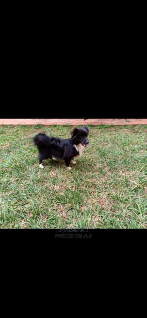 1+ Year Male Mixed Breed Japanese Spitz   Dogs & Puppies for sale in Nairobi, Roysambu