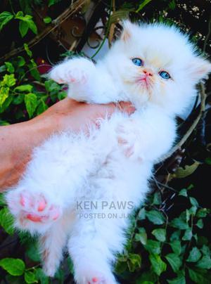 1-3 Month Female Purebred Persian   Cats & Kittens for sale in Kiambu, Ruiru