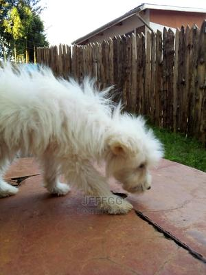 1-3 Month Female Purebred Japanese Spitz | Dogs & Puppies for sale in Nairobi, Westlands