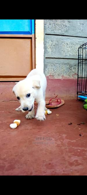 1-3 Month Female Purebred Labrador Retriever | Dogs & Puppies for sale in Nairobi, Westlands
