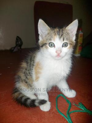 1-3 Month Female Purebred American Shorthair | Cats & Kittens for sale in Kiambu, Kiambu / Kiambu