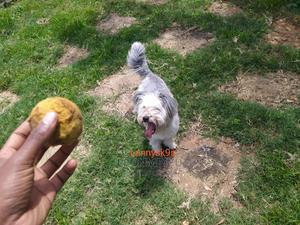 6-12 Month Male Purebred Maltese | Dogs & Puppies for sale in Nairobi, Nairobi Central