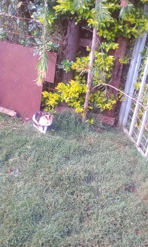 6-12 Month Female Mixed Breed Persian   Cats & Kittens for sale in Nairobi, Roysambu