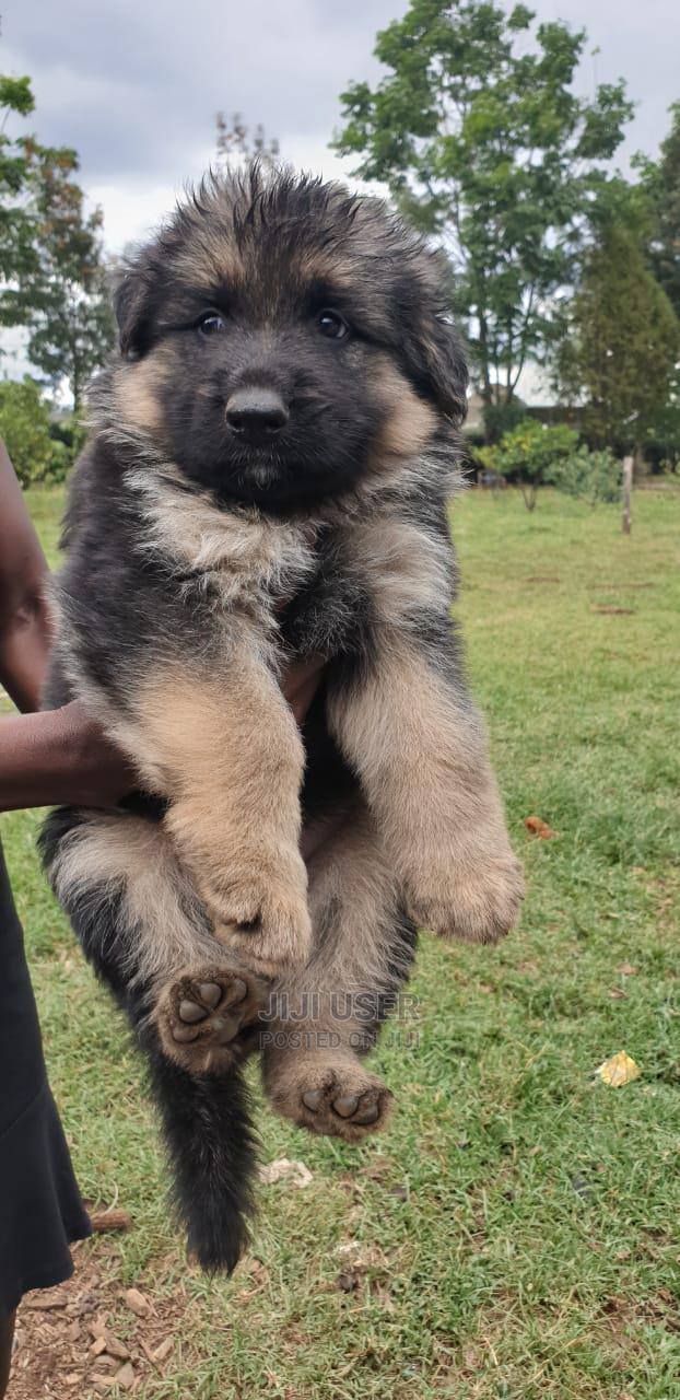 Archive: 1-3 Month Male Purebred German Shepherd