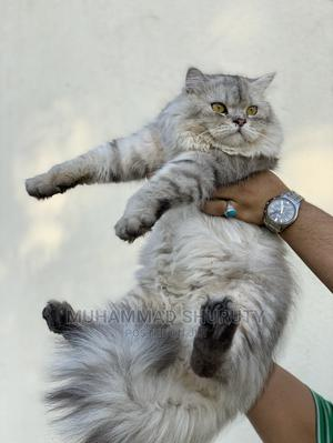 1+ Year Male Purebred Persian   Cats & Kittens for sale in Mvita, Majengo