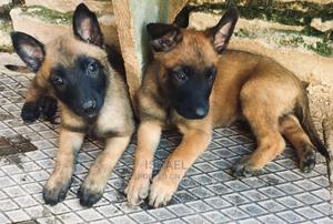 1-3 Month Male Purebred Belgian Malinois   Dogs & Puppies for sale in Nairobi, Embakasi
