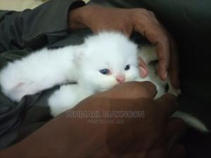0-1 Month Male Purebred Persian   Cats & Kittens for sale in Mombasa, Makadara (Msa)
