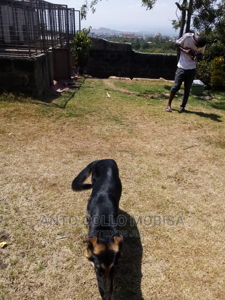 3-6 Month Female Purebred German Shepherd | Dogs & Puppies for sale in Nakuru Town East, Nakuru, Kenya