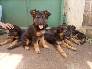 1-3 Month Female Purebred German Shepherd | Dogs & Puppies for sale in Nyeri, Nyeri Town