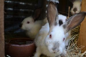 Rabbit  +254   Livestock & Poultry for sale in Kiambu, Witeithie