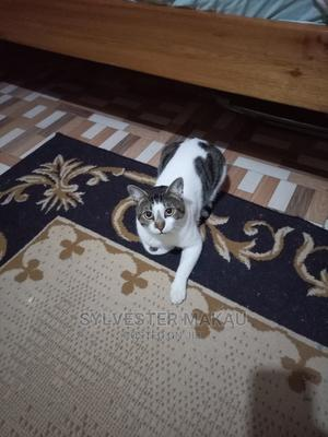 6-12 Month Male Mixed Breed American Shorthair | Cats & Kittens for sale in Nairobi, Zimmerman