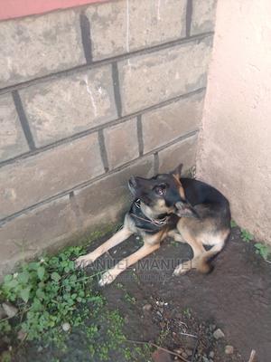 6-12 Month Male Purebred German Shepherd | Dogs & Puppies for sale in Nairobi, Makadara