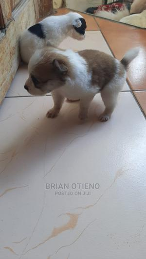 0-1 Month Female Mixed Breed Maltese | Dogs & Puppies for sale in Mombasa, Nyali