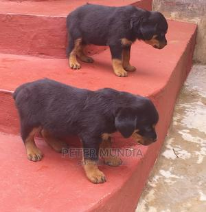1-3 Month Male Purebred Rottweiler | Dogs & Puppies for sale in Nyeri, Dedan Kimanthi