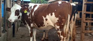 Red Freshian Pedigree Heifer | Livestock & Poultry for sale in Kiambu, Githunguri