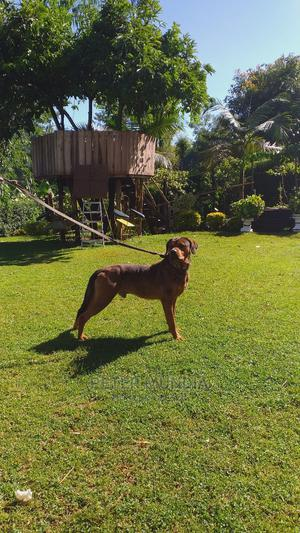 1+ Year Male Mixed Breed Mastiff | Dogs & Puppies for sale in Nyeri, Dedan Kimanthi