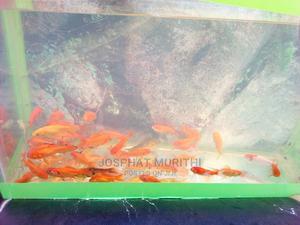Gold Fish for Sale | Fish for sale in Kiambu, Kiambu / Kiambu