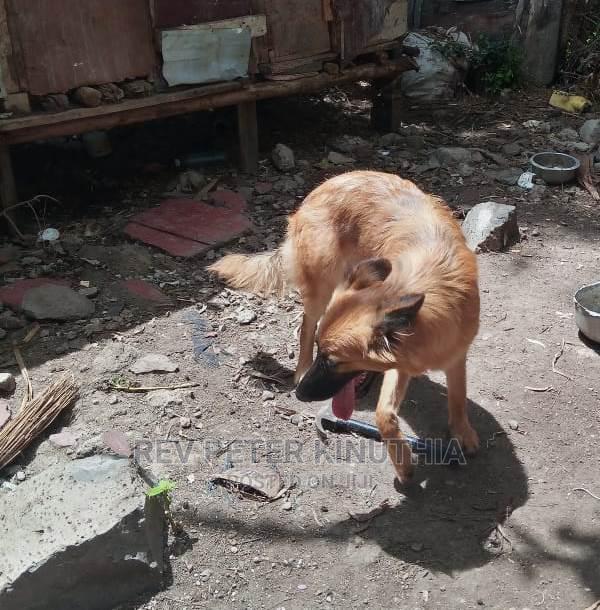 3-6 Month Male Purebred German Shepherd   Dogs & Puppies for sale in Kitengela, Kajiado, Kenya