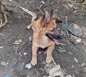 3-6 Month Male Mixed Breed Chihuahua   Dogs & Puppies for sale in Kajiado, Kitengela
